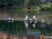 美!石井河惊现成群白鹭 在中心区靠水而居还有机会