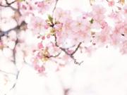 """固镇的公园,华地公馆的""""私""""人园林,千亩樱花园即将盛放,欢迎"""