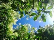 威海的桂花,羊亭的桂花园