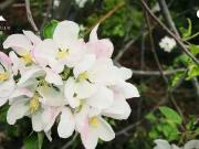 春花芳菲,桃花源里海棠花开