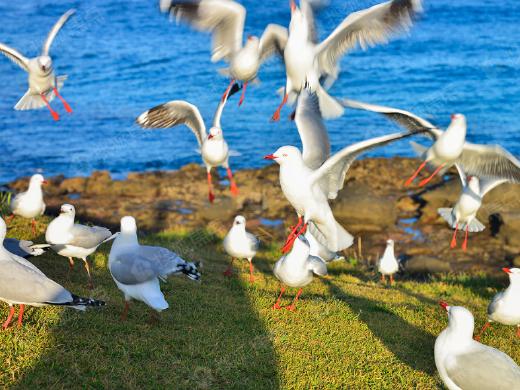 红嘴鸥的南迁之旅 是对温暖的想象!